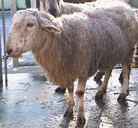 Bluetongue virus in sheep