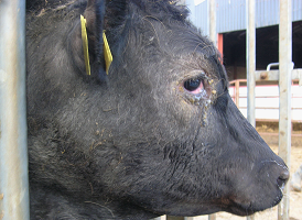 Bluetongue virus in cattle