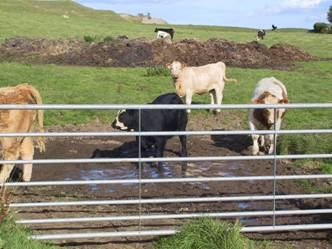 1 coccidiosis cattle calves contaminated water