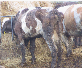 Liver fluke control in cattle