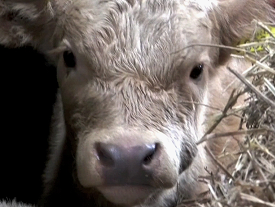 The calf's lower jaw is wet caused by drooling of saliva with obvious swelling of the cheek