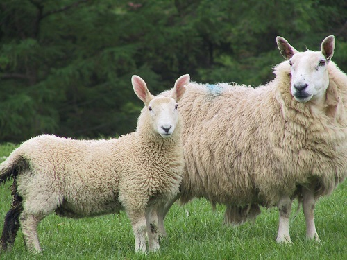 3 Gastrointestinal Nematode Infestations in Sheep Nematodirosis