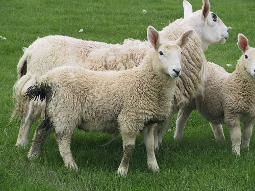 6 Gastrointestinal Nematode Infestations in Sheep Nematodirosis