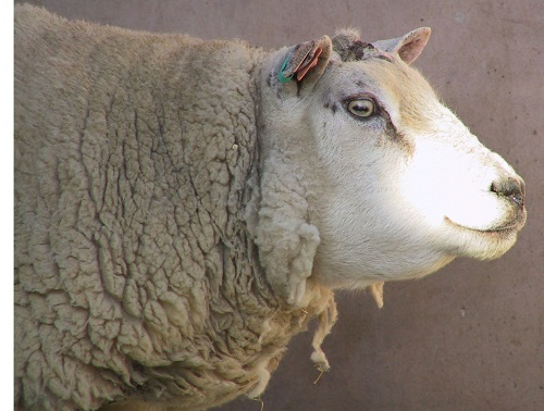 8 Gastrointestinal Nematode Infestations in Sheep Haemonchus contortus