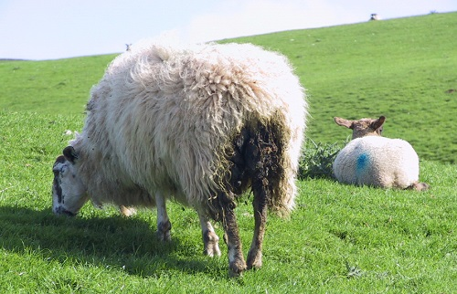 13 Gastrointestinal Nematode Infestations in Sheep Anthelmintic treatment