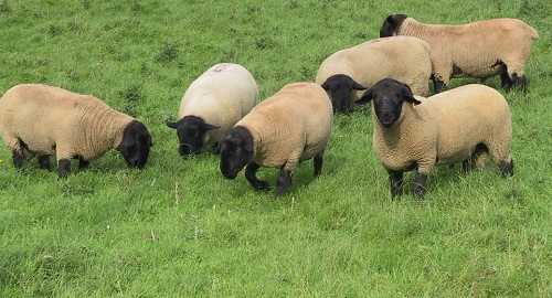 16 Gastrointestinal Nematode Infestations in Sheep quarantine drenching