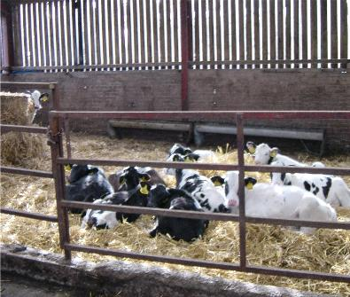 7 calf nutrition weaning