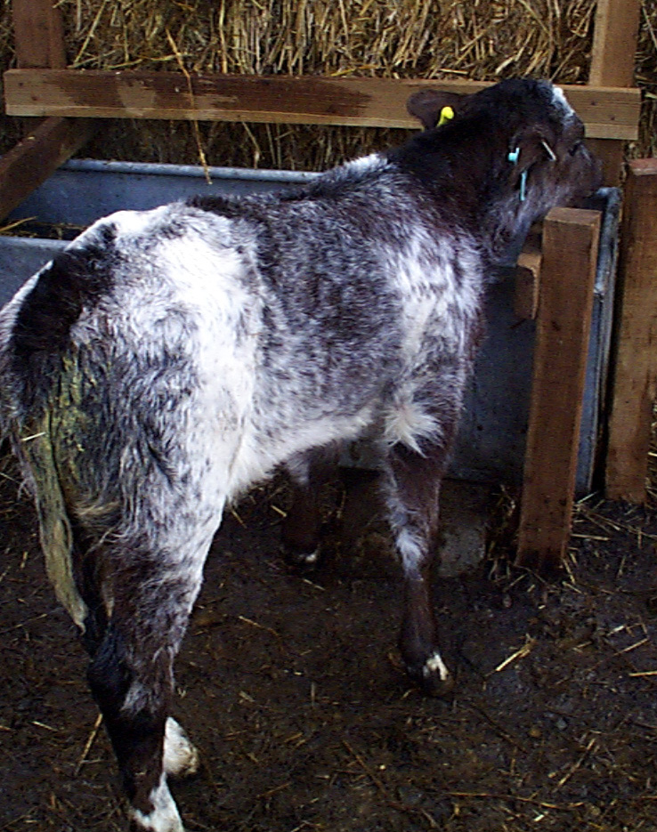 4 diarrhoea rotavirus infection calf