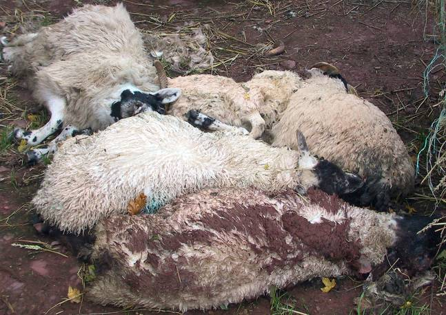 1 Clostridia pasteurella vaccination sheep losses