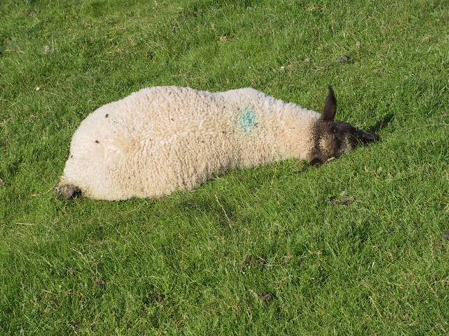 3 Clostridia pasteurella vaccination sheep pulpy kidney