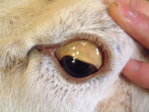 4 Copper poisoning sheep jaundice of the sclera