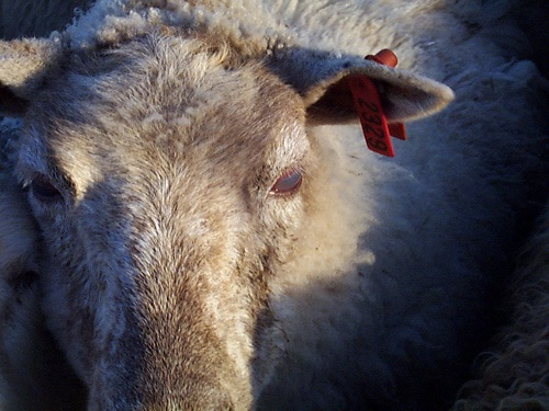 5 Eyes sheep Infectious keratoconjunctivitis