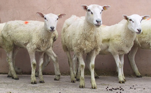 4 Johnes Paratuberculosis wasting diseases sheep