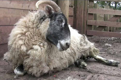 6 Johnes Paratuberculosis wasting diseases sheep recumbency weakness
