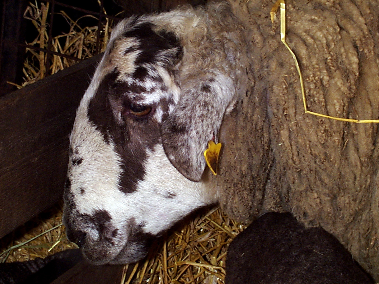 14 Johnes Paratuberculosis wasting disease sheep septic peritonitis 2