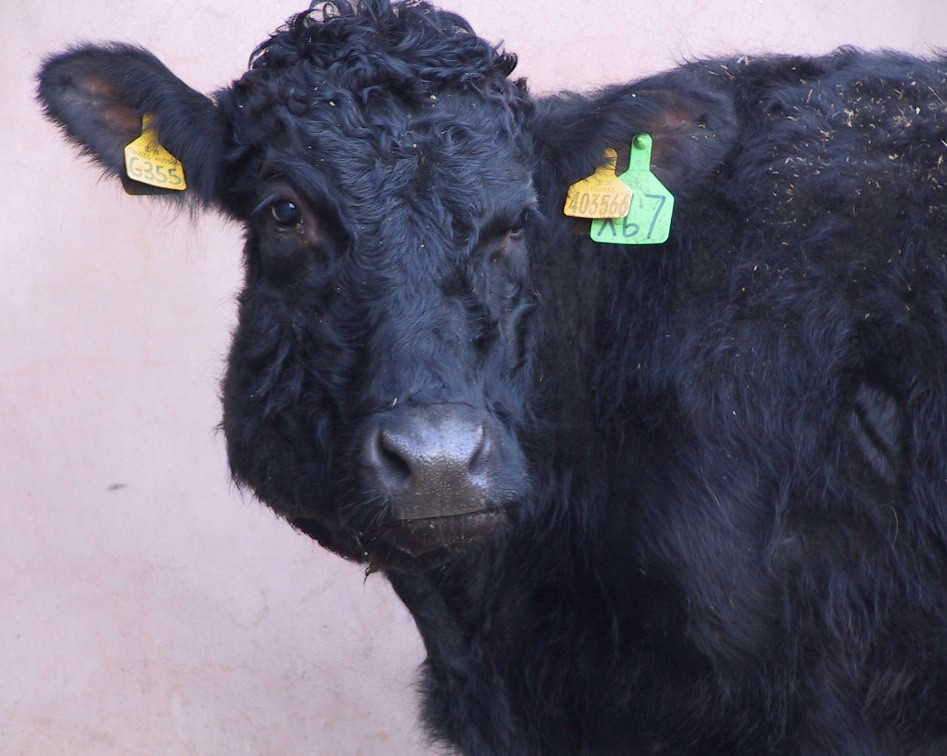Mouth problems in cattle