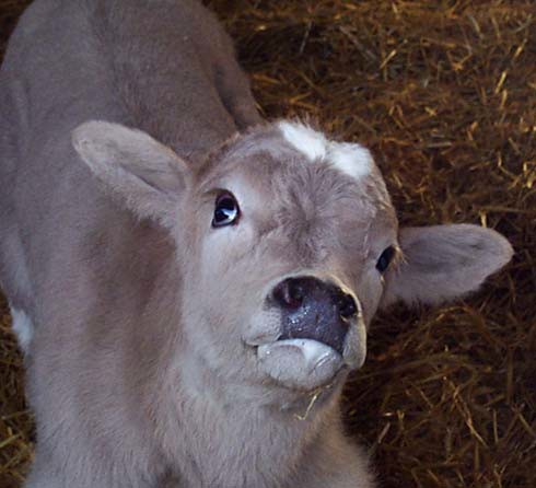 "Calves are blind and may show ""star-gazing"" behaviour"