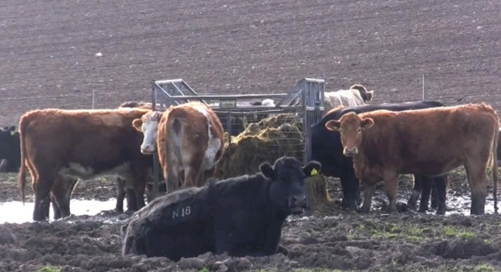 Out-wintered cattle give farming a poor image on this farm