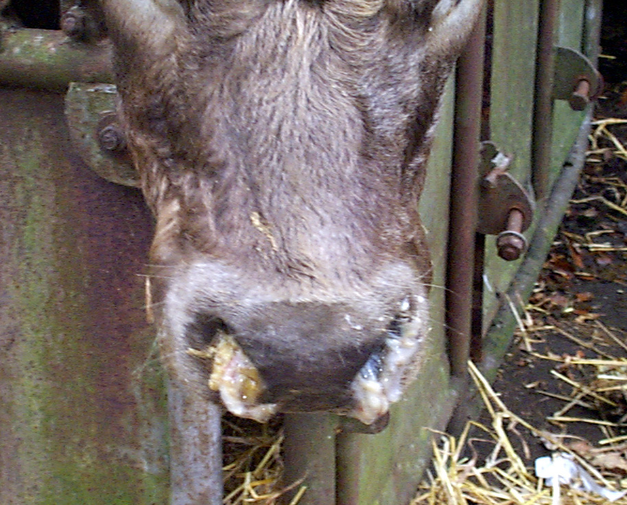 3 respiratory disease ibr infectious bovine rhinotracheitis virus