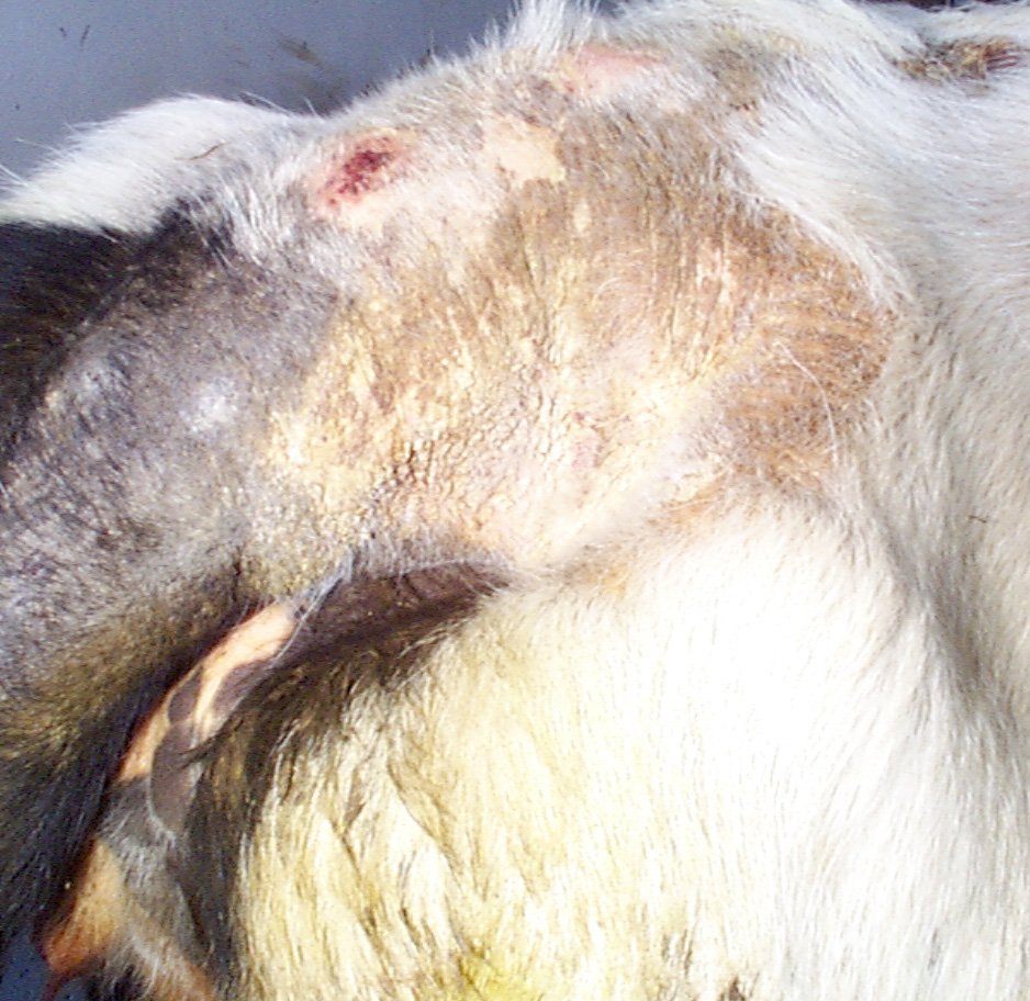 8 skin conditions cattle chorioptic mange