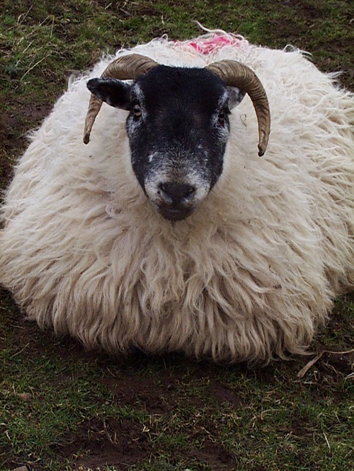 18 Pre lambing ewe nutrition and metabolic diseases hypocalcaemia