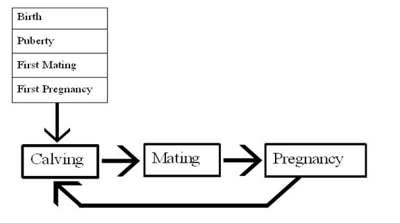 1 dairy herd fertility cycle